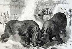 rhinos_fighting